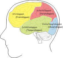 die vier Lappen im Gehirn