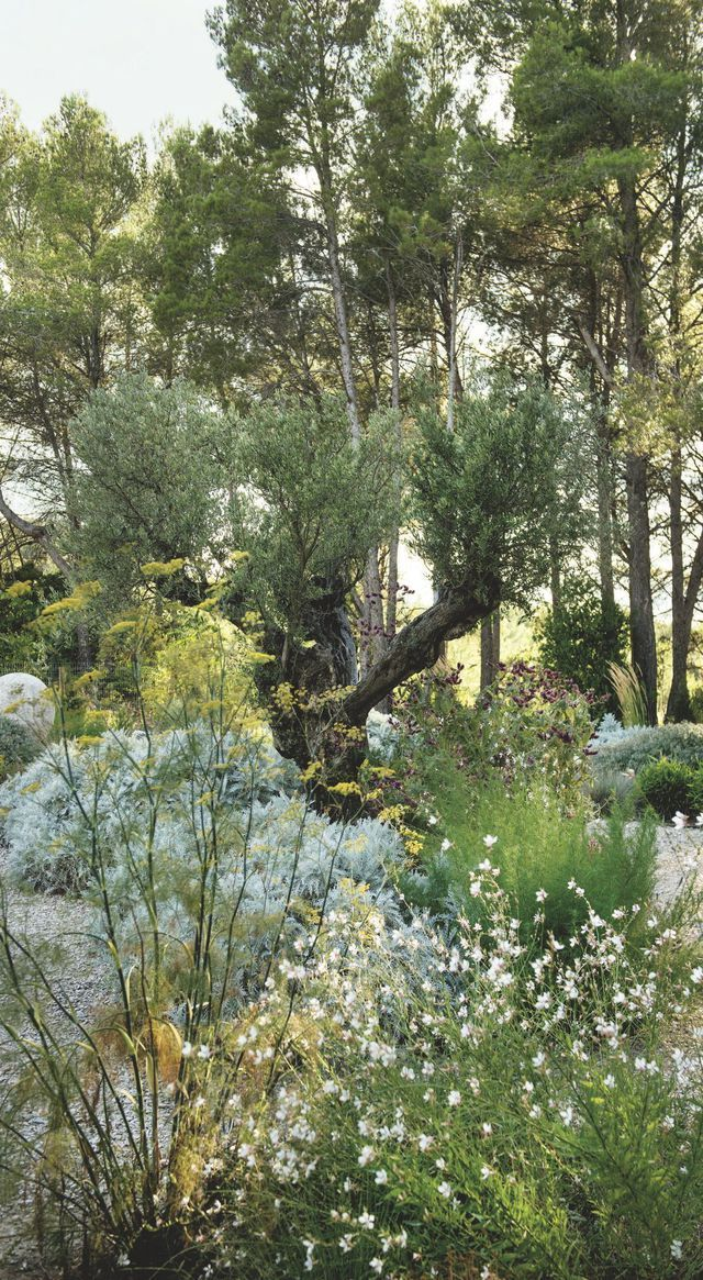 Au jardin haut, plantes tapissantes, graminées et olivier roi. –