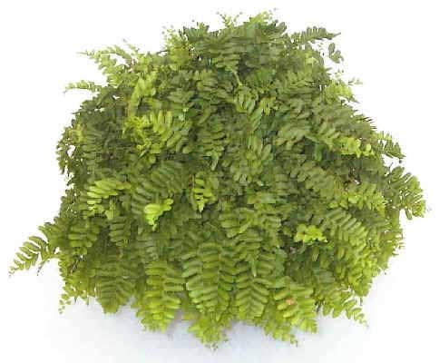 Dallas Fern  Additional Common Names:  Bold Sword Fern  Scientific Name:  Nephrolepis biserrata