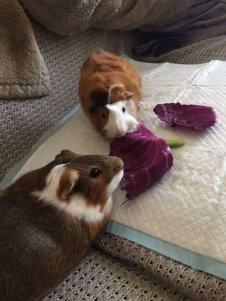 Cabbage time #guineapig https://t.co/xodWsq0V5Y