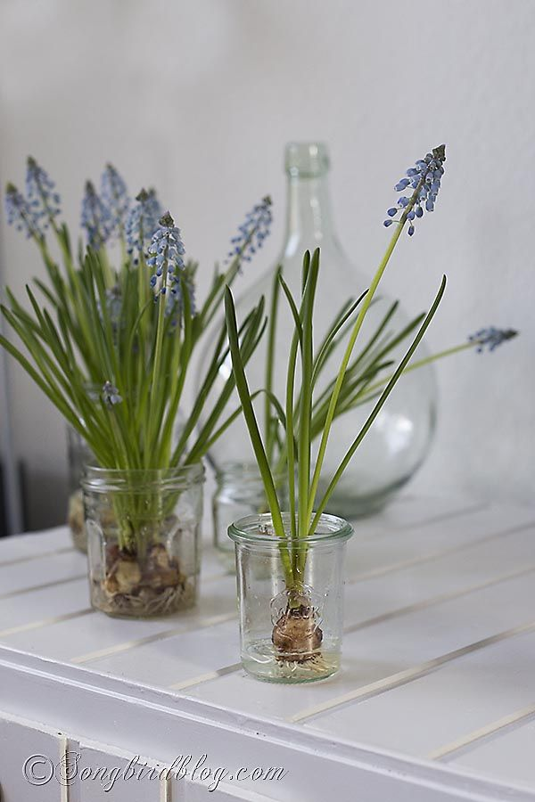 So simple, so effective for bringing Spring indoors: decorating with grape hyacinths on water. Via www.songbirdblog.com