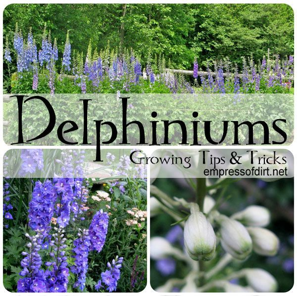 Delphinium Growing Tips and Tricks | www.empressofdirt.net. Planting perennial seeds in bottomless pot in fall. Great idea!