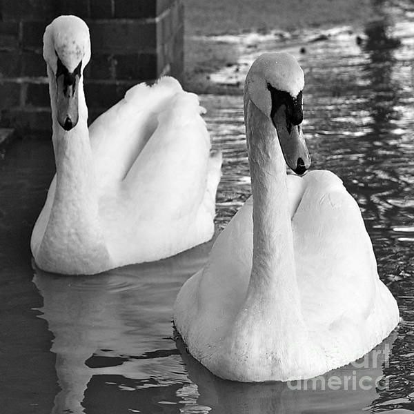 Swans in Love http://toula-mavridou-messer.artistwebsites.com/featured/new-photographic-art-print-for-sale-swans-in-love-black-and-white-toula-mavridou-messer.html