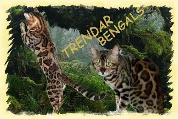 Bengal Kittens For Sale In Wv Photos Of Exitic Show Quality Cats In 2020 Bengal Kitten Bengal Kittens For Sale Quality Cat