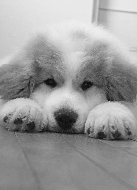 Great Pyrenees Puppy... Oh the hair.. but I'm in love... how could anyone resist that sweet face...
