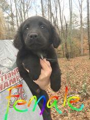 Borador Dog For Adoption in SHERBURNE, NY, USA