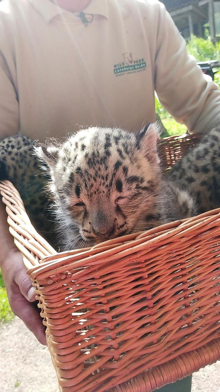 Snowleopard babys at my local zoo http://ift.tt/2rPoEpU