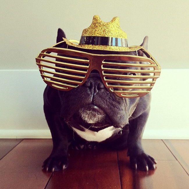 Funny French Bulldog Trotte photo by its owner Sonya Yu (07)