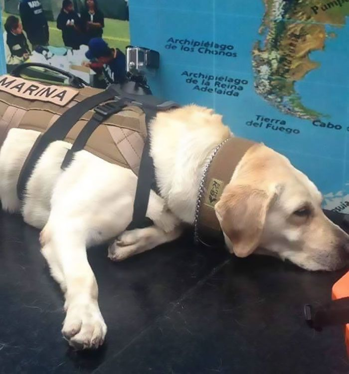Badass Rescue Dog Who Has Rescued 52 Lives Is Now Saving People Affected By Mexico Earthquake | Bored Panda