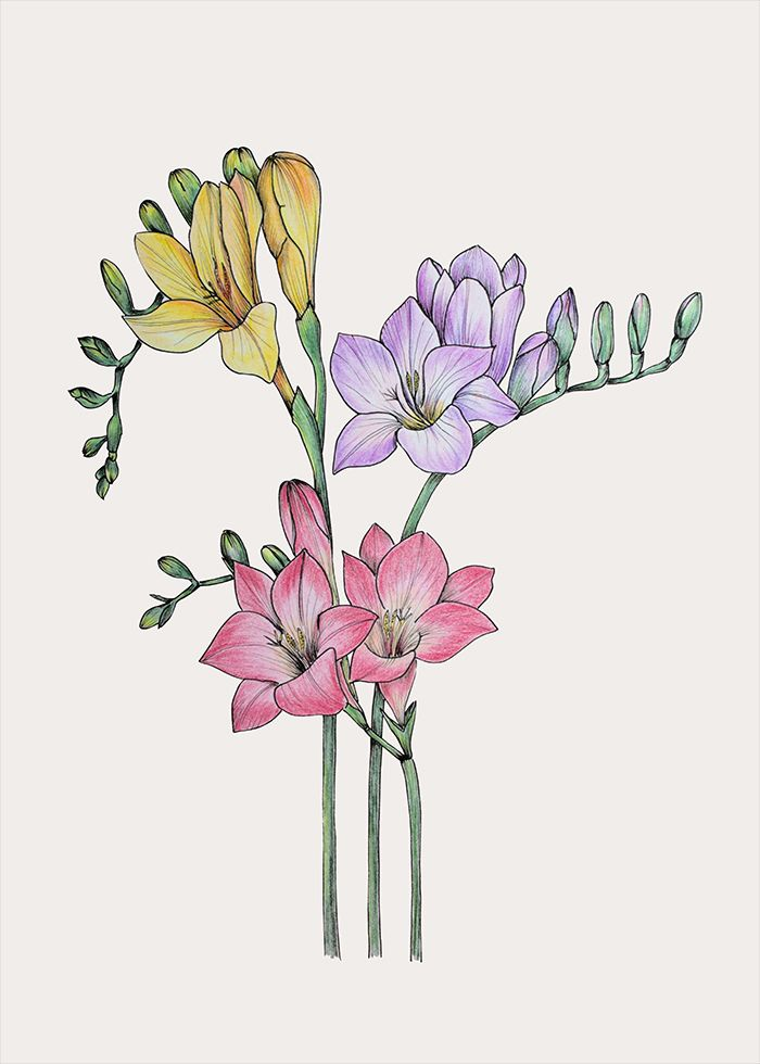 Freesia Botanical Illustration Art Print By Olga Shashok In 2020 Realistic Flower Drawing Beautiful Flower Drawings Wildflower Drawing