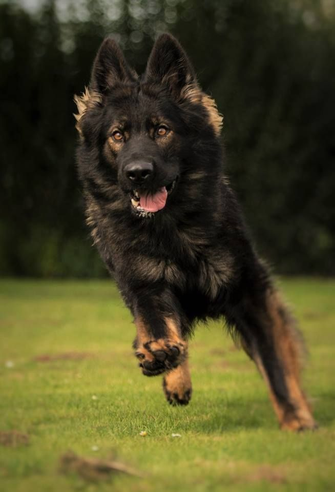 German Shepherd. I love when they have the darker face markings!