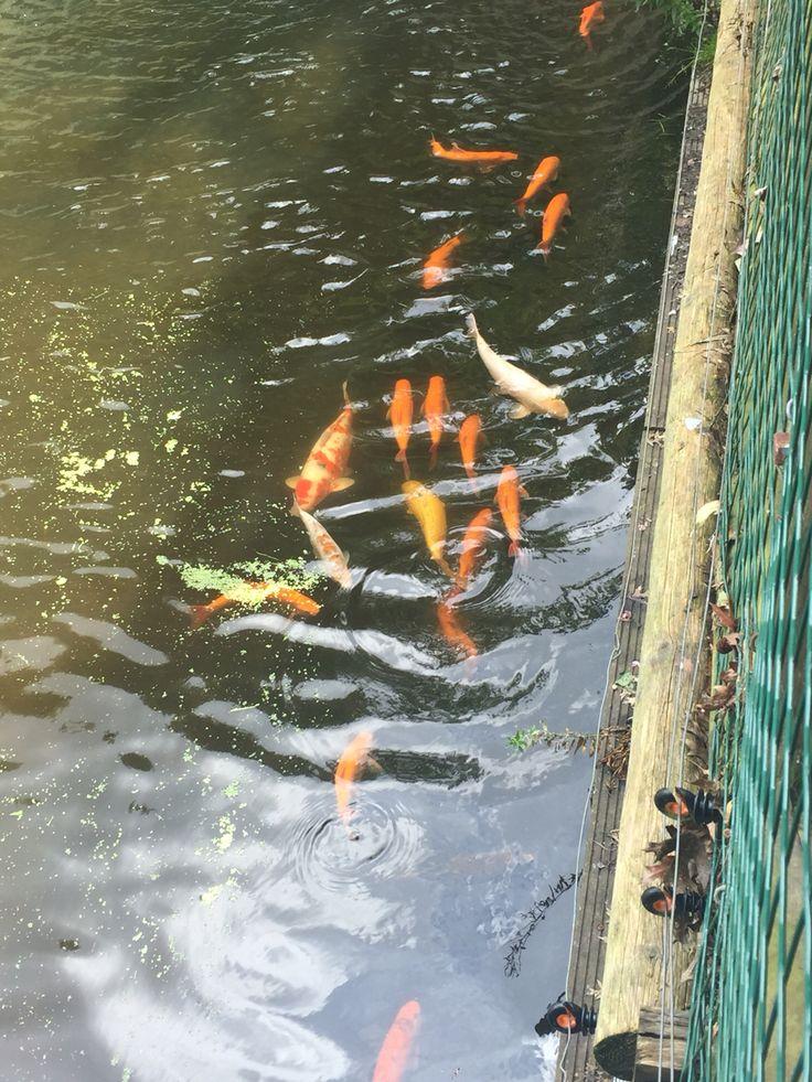 Koi carp in Bellewaerde theme park