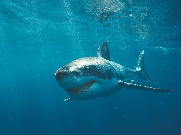 Great White Shark - lifespan of over 30 years - one of the primary predators of marine mammals - found in almost all coastal and offshore waters with a temperature between 12 and 24 degrees - ranked first in having the most attacks on humans - species is considered vulnerable