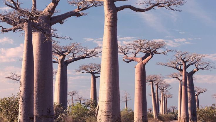 The majestic baobab trees of Madagascar: it's tough to find somewhere more exotic than the world's fourth largest island.