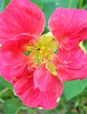 BUSKKRASSE  Blommar juni-oktober, trivs bäst på lite magrare jord. Trivs i soligt till halvskuggigt läge. Annorlunda buskkrasse med grågrönt bladverk och ljuvligt rosafärgade blommor.