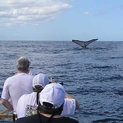 <p>Clients can see whales during outrigger canoe tours from late December to early April. // © 2016 Hawaiian Paddle Sports</p><p>Feature image...