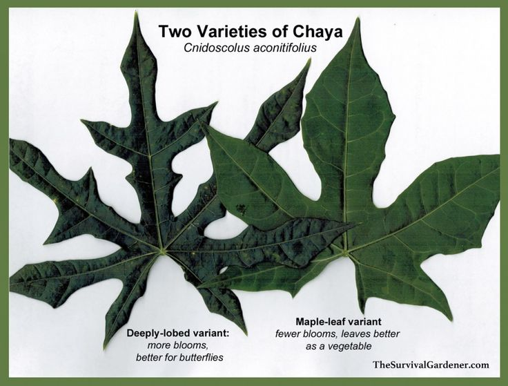 Varieties of chaya, also known as Mexican tree spinach. A GREAT edible green and perennial vegetable.