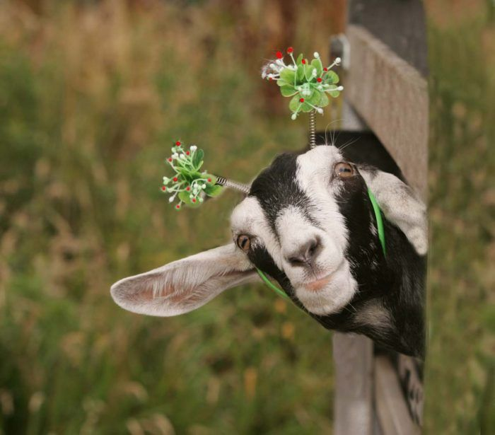 преимущество открытка веселые козы посёлок