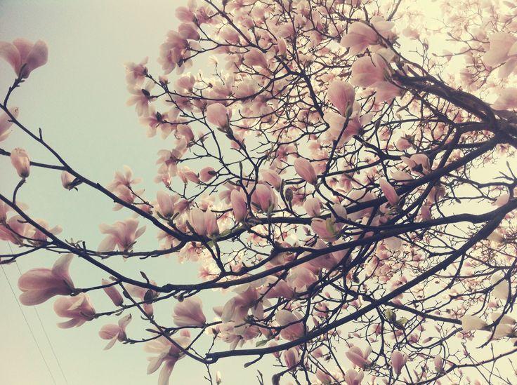 Et magnolia træ (hvis det kan klare at vente op til 5 uger inden plantning)