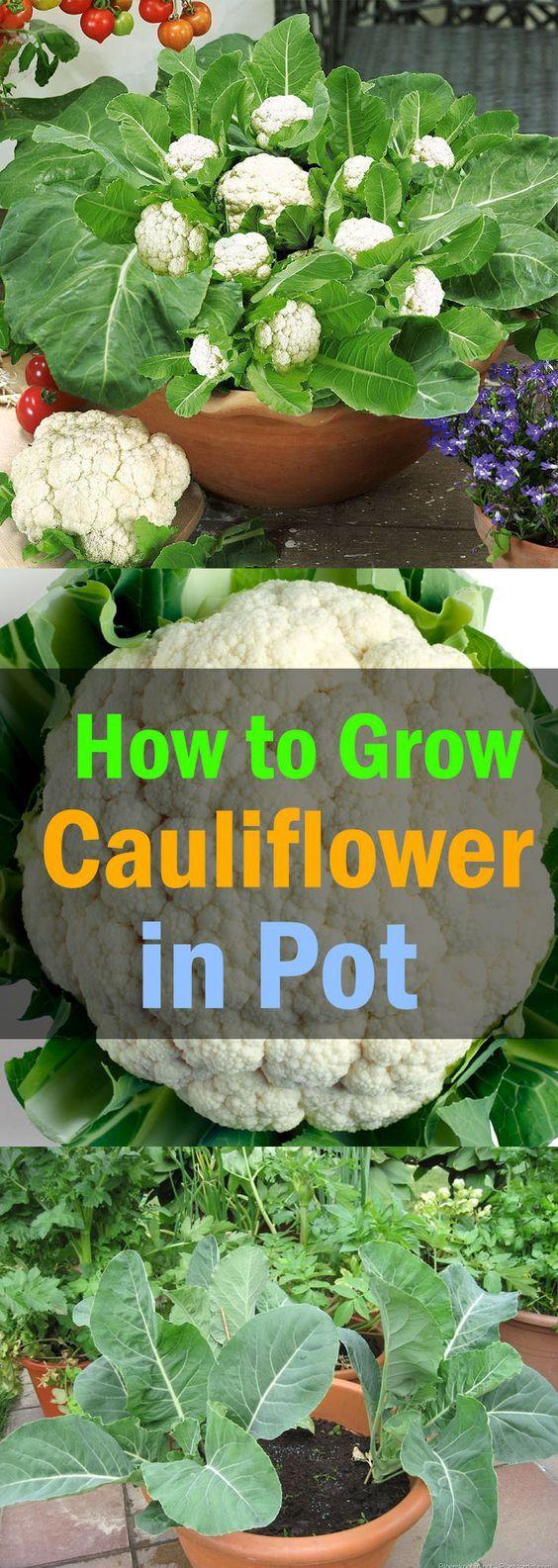 Aprender a cultivar la coliflor en recipientes en este artículo. Coliflores creciente en recipientes no es muy difícil si usted sabe sus requisitos adecuados y las condiciones ideales de crecimiento.