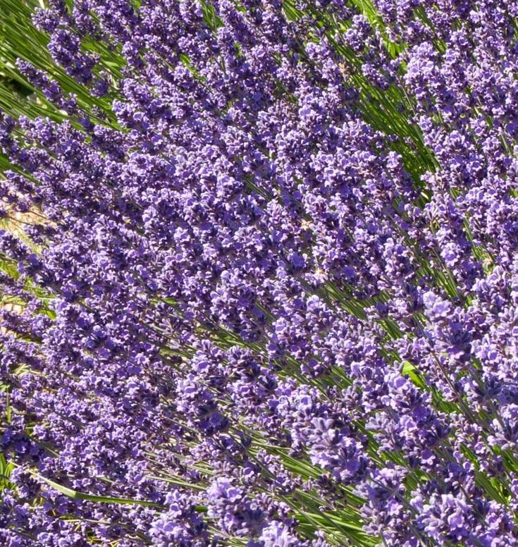 17 Best Images About Herb Lavender On Pinterest Growing