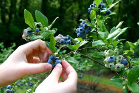 Find out, Why Wild Blueberries Pack a Powerful, Healthy Punch