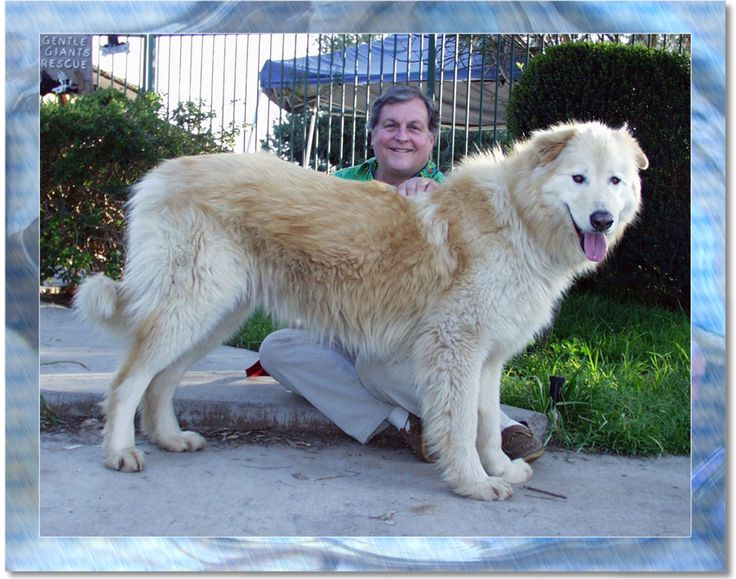 Sasquatch Dog - cross of Great Pyrenees with Alaskan Malamutes... I think i'm in love <3