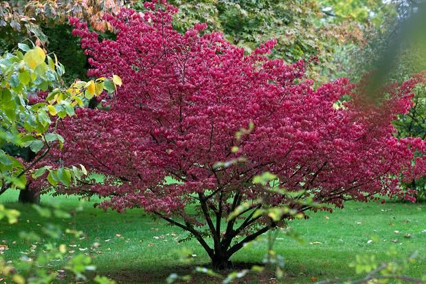 The best tree for autumn gardens euonymus alatus for Euonymus alatus