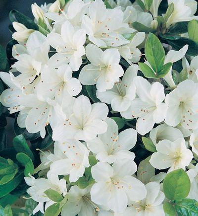 Azalea 'Pleasant White' (Girard hybrid) - Rebecca's lingering scent of white Azaleas