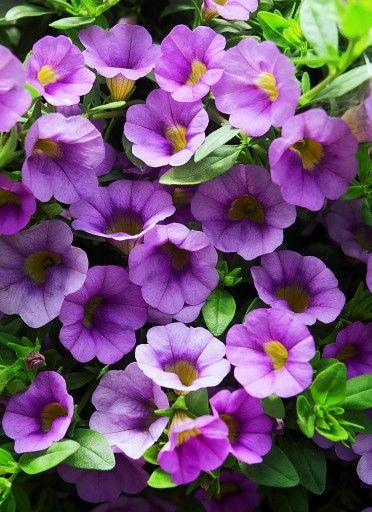 Calibrachoa 'Million Bells Lavender'