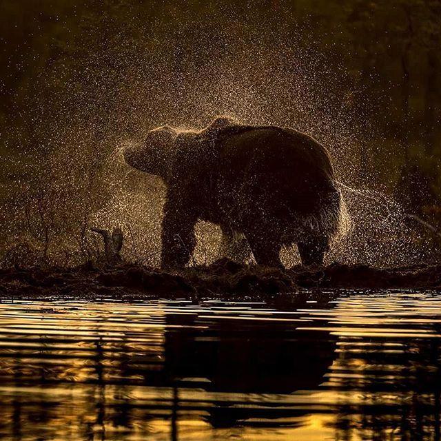 A Brown bear after a bath  #nikon #nikonambassador #nikontop #iamnikon #marvelshots #elite #wwf #natgeo #finland #brownbear #brunbjørn #bjørn #bear #splendidanimals #wildlife #naturelovers