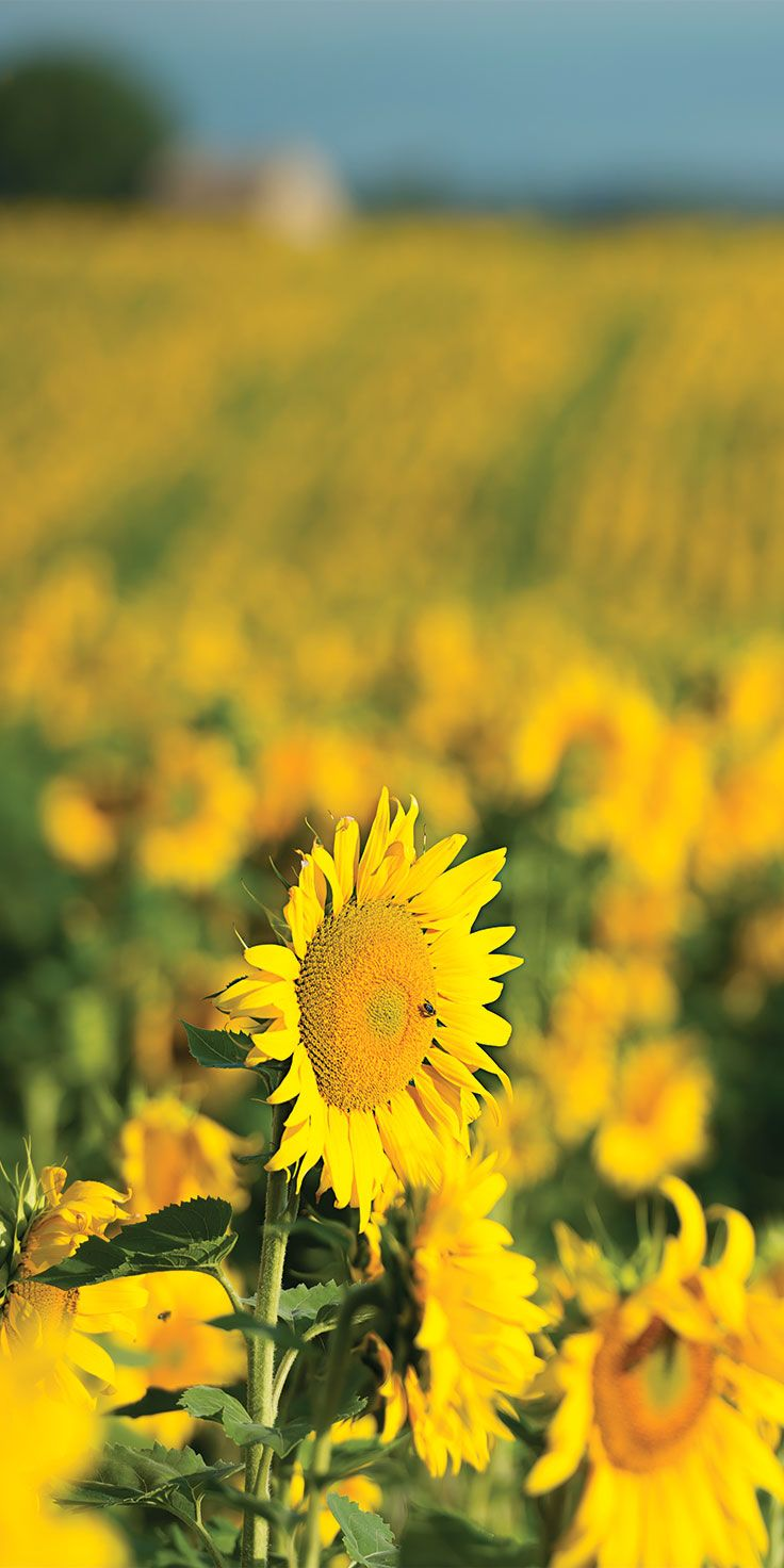 Vibrant fields of sunflowers in Provence - by Lauren Bath