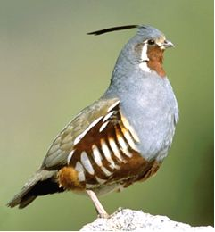 The Mountain Quail is the largest Quail in the United States. They have a very striking appearance, with brown faces, gray bodies, and bold brown and white banding on the underside. Both males and females sport the iconic head plume, though it is more pronounced in the males.