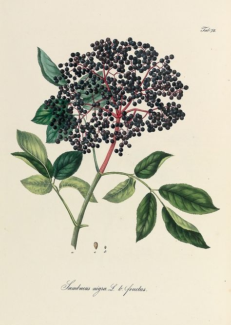 Ignaz Stenzel, Elderberries illustration from the work Pharmaceutisch - medizinische Botanik by Daniel Wagner, 1828-1830. Vienna.