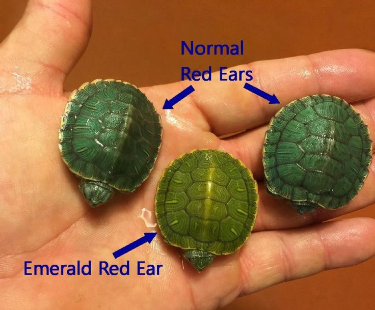 Emerald Red Eared Sliders: for sale from The Turtle Source