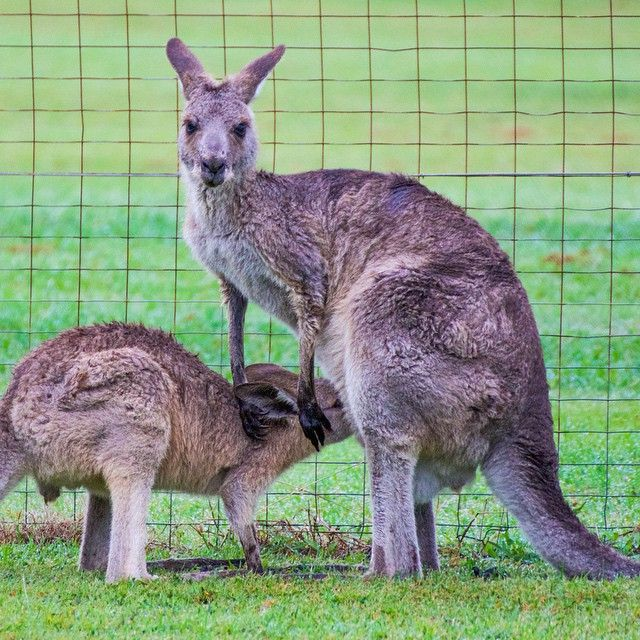 The kangaroos are feeling fresh and looking good after the recent rain! #ThisisQueensland photo @scorpy12