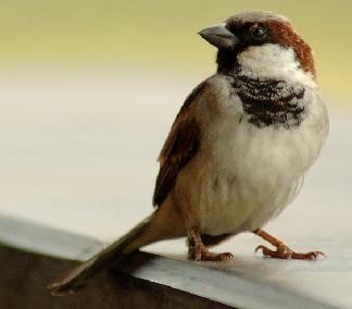 universal sparrow