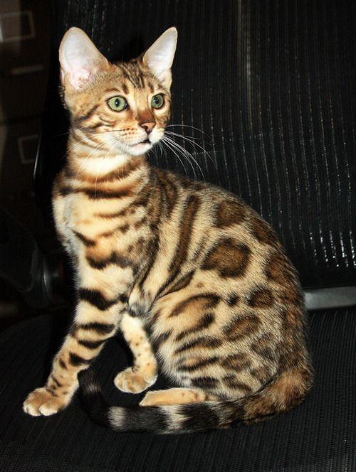 Adopt a bengal cat san diego