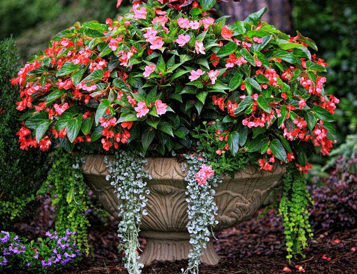 die besten 25+ creeping jenny plant ideen auf pinterest, Gartenarbeit ideen