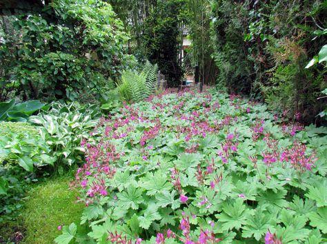 Geranium macrorrhizum, Ingwersen variety (3), fleurit en vril mai pour argile