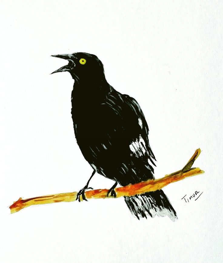 Australian Magpie bird