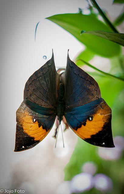 Orange Oak Leaf Butterfly 28.07.2015 C.R.