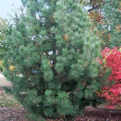 Austrian Pine Tree 2 Pack