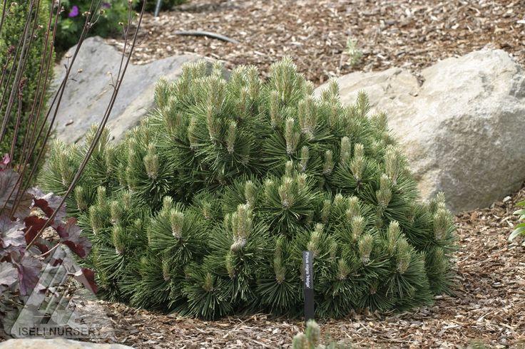 Kigi Nursery - Pinus nigra ' Helga ' Dwarf Austrian Pine, $20.00 (http://www.kiginursery.com/dwarf-miniatures/pinus-nigra-helga-dwarf-austrian-pine/)