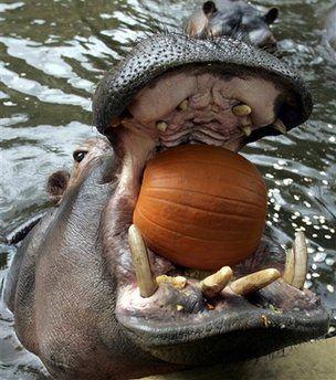 Hippo eating a pumpkin!!!