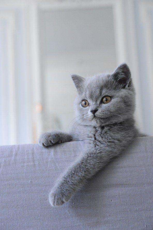 Mon chaton British Shorthair Bleu, de l'élevage des British du clos d'Eugénie…                                                                                                                                                                                 Plus