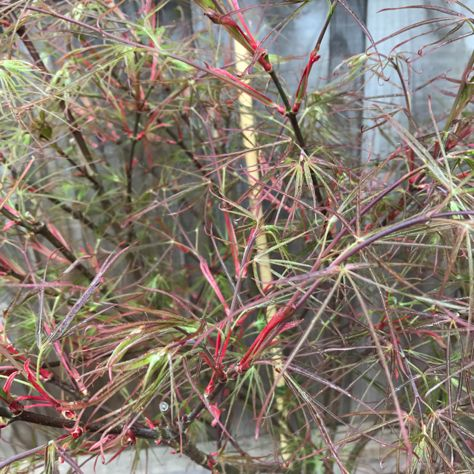 Japanese maple red pigmy