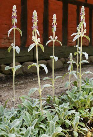 Lammeører anvendt som kantplanter i haven ved Truegården.  Lamb Ears used as border plants in the garden.