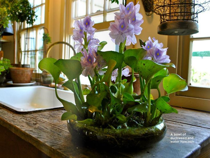 mon water hyacinth Indoor container water gardens