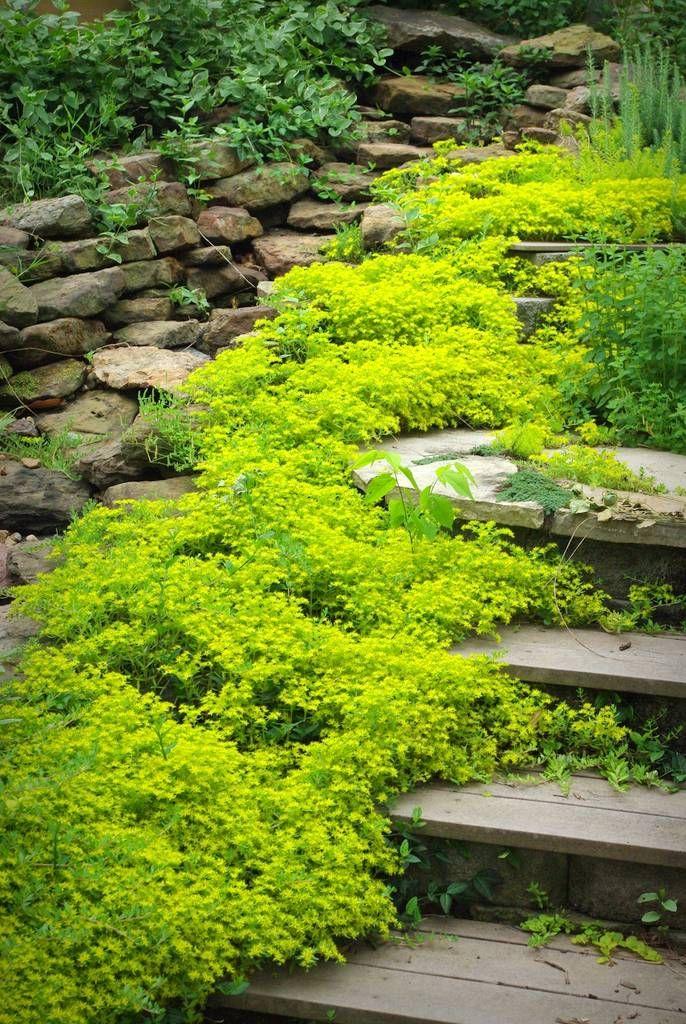 Plant a path with sedum sarmentosum - spreads rapidly - good for poor soils.
